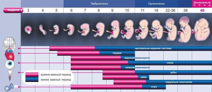 развитие плода, беременность