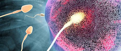 Оплодотворение яйцеклетки